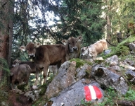austrian calves