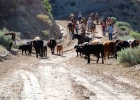 Cowboys and cattle on CWCR