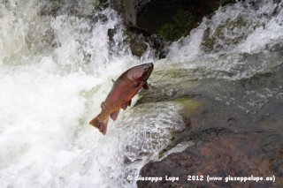 jumping trout in the Les Hardes Rapids