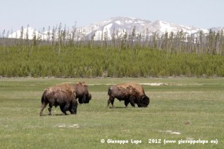 bisons on the Gibbons Meadows
